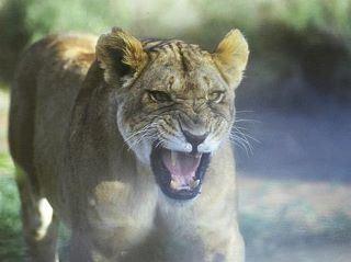 AAFN tiger