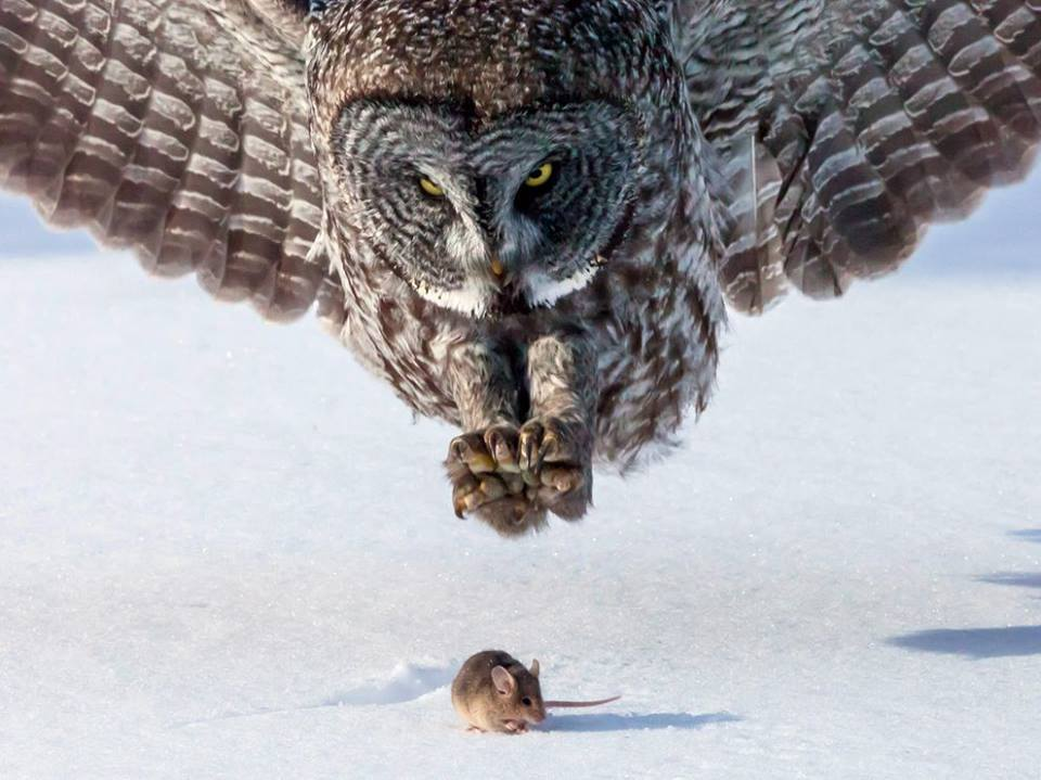 owl and rats